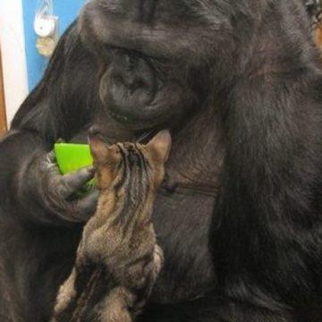 Умерла горилла Коко, которая понимала речь и общалась на языке жестов