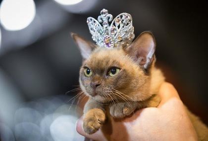 Мисс-кис 2018: в Ужгороде будут выбирать лучшую кошку года (АНОНС)