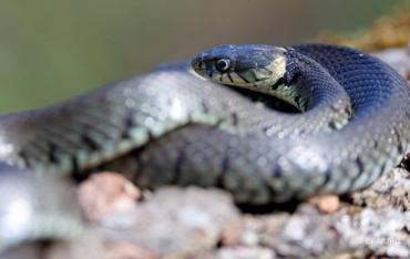 Змея на Стене Плача в Иерусалиме «предвещает» конец света (ВИДЕО)